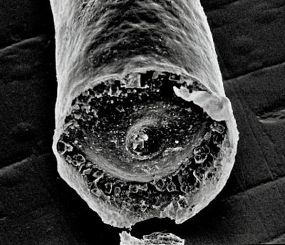 <i><i>Tanuchitina bergstroemi</i></i><br />Moe H-50 borehole, 11.90 m, Pirgu Stage ( 359-7)