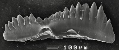 Pterospathodus amorphognathoides angulatus (Walliser, 1964), GIT 511-19