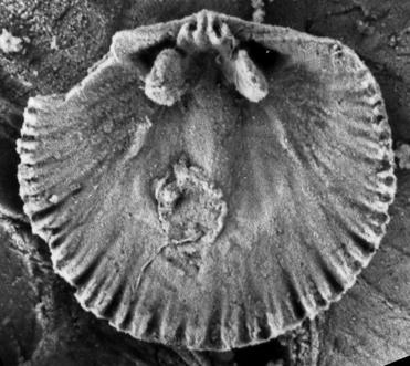 Wysogorskiella litviensis Hints, 1975, GIT 207-80