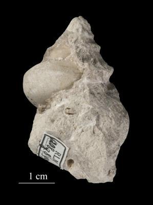 Lophospira borkholmiensis Koken, ELM G8:493
