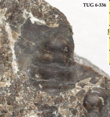 Peltura scarabaeoides (Wahlenberg, 1821), TUG 6-336