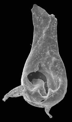 <i><i>Plectochitina</i> | Plectochitina sp.</i><br />Pavilosta 51 borehole, 684.30 m, Ludfordian ( 576-55)