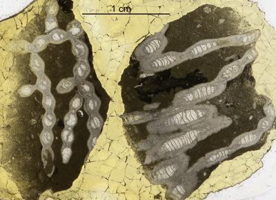 Heliolitida