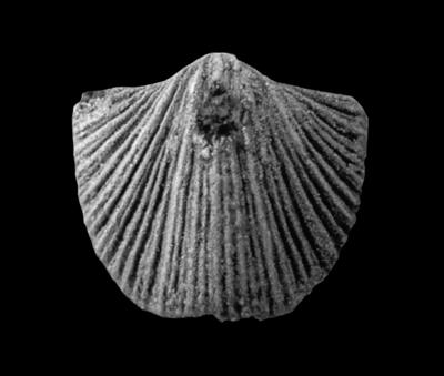 Cremnorthidae