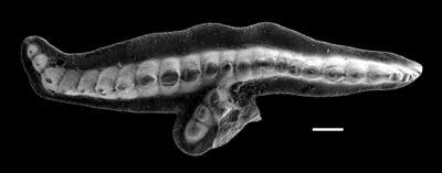 Pterospathodus amorphognathoides amorphognathoides Walliser, 1964, GIT 493-46