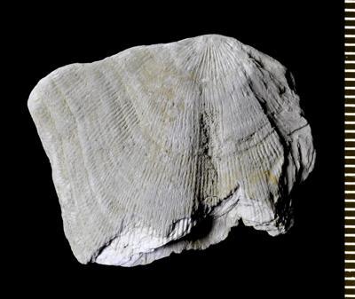 Clinambon anomalus (Schlotheim, 1822), GIT 543-55
