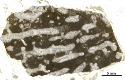 Syringopora multifaria Klaamann, 1962, GIT 90-57