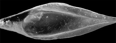 Goniporus alatus (Gross, 1947), GIT 232-278
