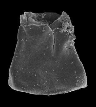<i><i>Eisenackitina kerria</i></i><br />Pavilosta 51 borehole, 775.00 m, Gorstian ( 576-23)