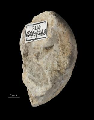 Murchisonia insignis Eichwald, ELM G8:238