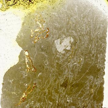 Dartmuthia gemmifera Patten, 1931, TUG 267-69