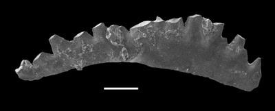 Wurmiella excavata (Branson et Mehl, 1933), GIT 598-9