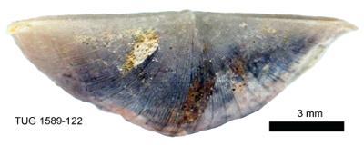 Sowerbyella (Viruella) liliifera Öpik, 1930, TUG 1589-122