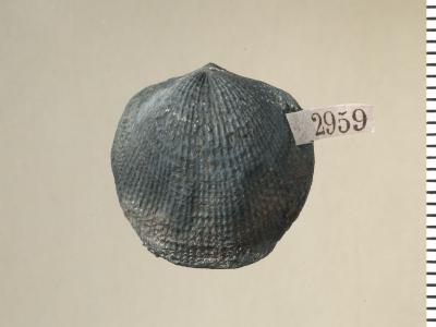 Oglupes visbyensis Copper, 2004, GIT 130-113