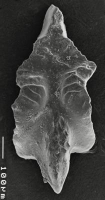Apsidognathus tuberculatus ssp. n. 3 Männik, 2007, GIT 511-30