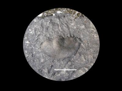 Panderia cf. lerkakensis Bruton, 1968, GIT 10-6
