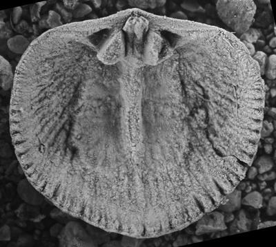 Wysogorskiella litviensis Hints, 1975, GIT 207-76
