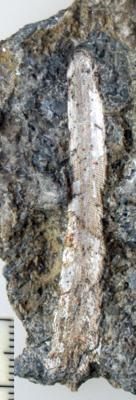 Ptilodictya lanceolata (Goldfuss, 1826), TUG 1578-10