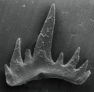 Ozarkodina excavata puskuensis Männik, 1994, GIT 254-2