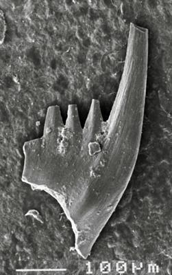 Pterospathodus eopennatus ssp. n. 2  Männik, 1998, GIT 511-6