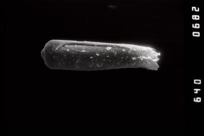 <i><i>Conochitina pachycephala</i></i><br />Riksu 803 borehole, 87.70 m, Jaagarahu Stage ( 754-1330)