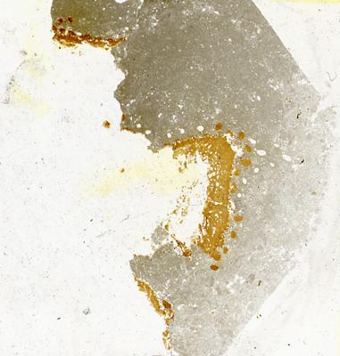Dartmuthia gemmifera Patten, 1931, TUG 267-72
