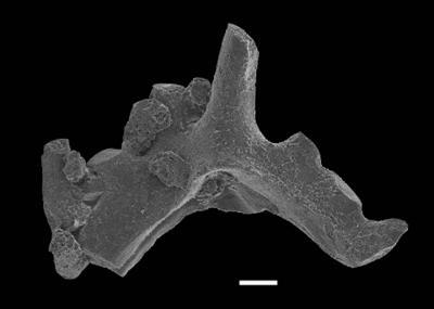 Ctenognathodus ssp., GIT 551-109