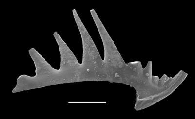 Phragmodus polonicus Dzik, 1978, GIT 654-39