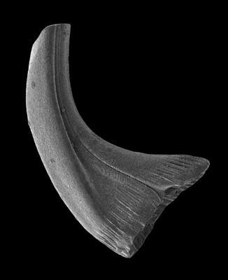 Panderodus greenlandensis Armstrong, 1990, GIT 583-20