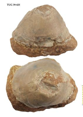 Pseudometoptoma sp., TUG 39-425