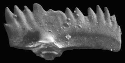 Ozarkodina aff. bohemica (Walliser, 1964), GIT 371-34