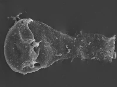 <i><i>Ancyrochitina paulaspina</i></i><br />Kolka 54 borehole, 533.00 m, Jaani Stage ( 754-437)