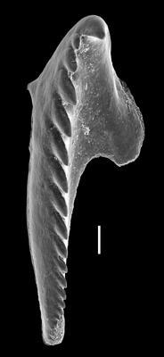 <i>Oenonites aff. wyszogrodensis</i><br />West Anticosti coastal outcrops, Canada,  m, Hirnantian