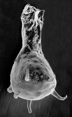 <i><i>Ancyrochitina primitiva</i></i><br />Varbla 502 borehole, 124.70 m, Jaani Stage ( 272-50)