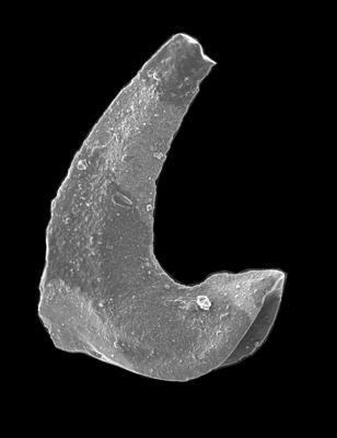 Paroistodus proteus (Lindström, 1955), GIT 594-2