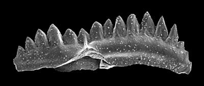 Aulacognathus cf. chapini (Savage, 1985), GIT 301-18