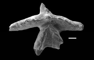 Pranognathus tenuis (Aldridge, 1972), GIT 738-4
