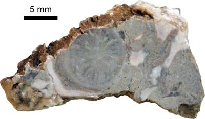Solenopora spongoides Dybowski, TUG 1140-9