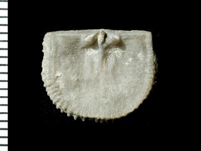 Panderina tetragona (Pander, 1830), GIT 125-38