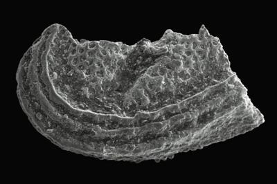 Hippula edolensis (Gailite, 1975), GIT 270-133