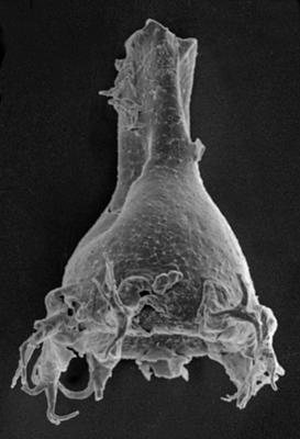 <i><i>Ancyrochitina</i> | Ancyrochitina sp. 1  Nestor, 1994</i><br />Ruhnu 500 borehole, 454.05 m, Jaani Stage ( 220-17)