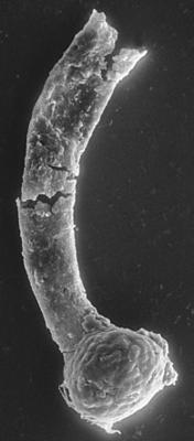 <i><i>Ancyrochitina</i> | Ancyrochitina aff. convexa Nestor, 1980</i><br />Ventspils D-3 borehole, 827.60 m, Adavere Stage ( 197-8)