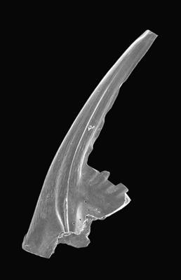 Prioniodus elegans Pander, 1856, GIT 495-48