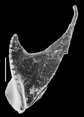 Symmetroprionidae