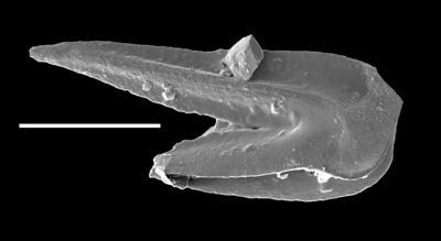 Venoistodus balticus Löfgren, 2006, GIT 654-33