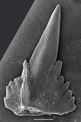 Pterospathodus amorphognathoides lennarti Männik, 1998, GIT 255-133