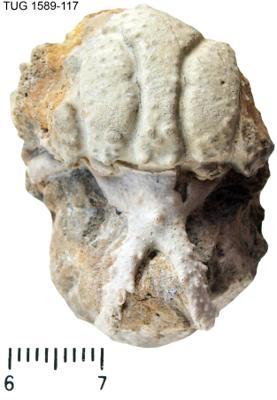 Hoplolichas conicotuberculatus (Nieszkowski, 1859), TUG 1589-117