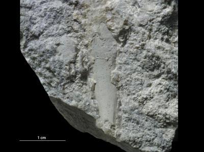 Hyolitha