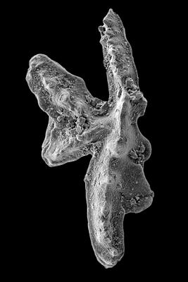 Amorphognathus tvaerensis Bergström, 1962, GIT 449-3