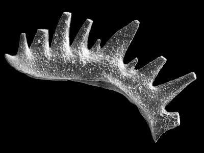 Ctenognathodus jeppssoni Viira et Einasto, 2003, GIT 371-9